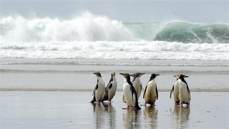 Melihat Penguin di Dunedin Selandia Baru