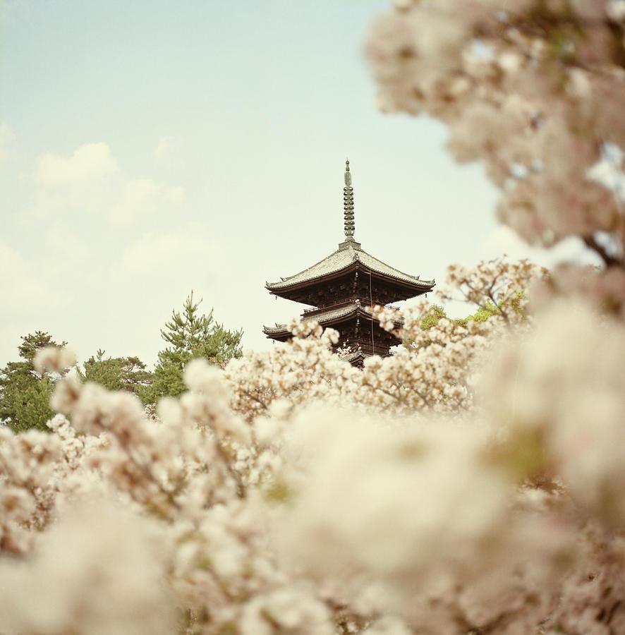 Menikmati Bunga Sakura di Ninnaji