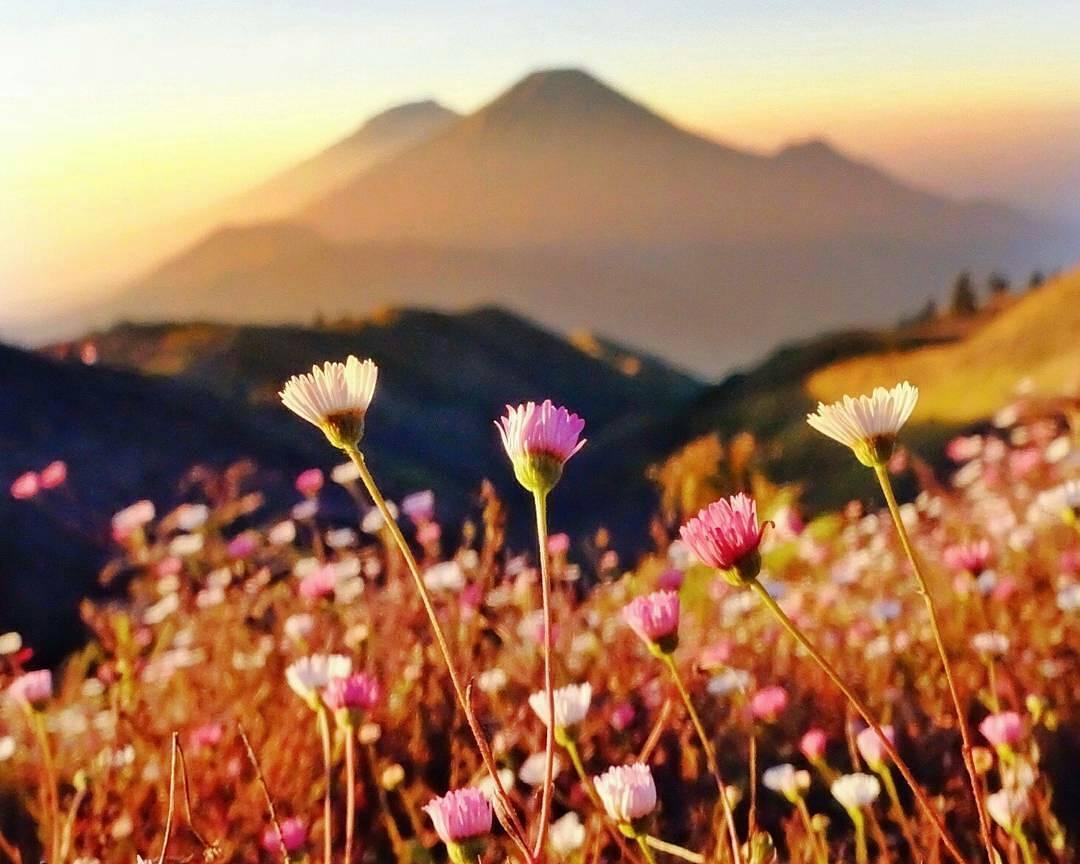 Padang Bunga Daisy di Gunung Prau